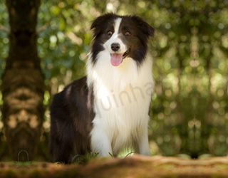 Plantel - Border Collie